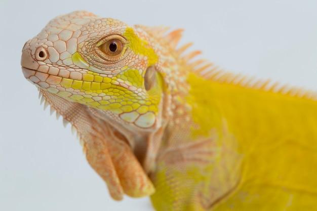 Żółty iguana albinos na białym tle