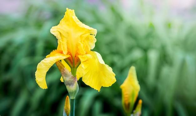 Żółty irysowy kwiat na zielonym tle. letnie kwiaty_