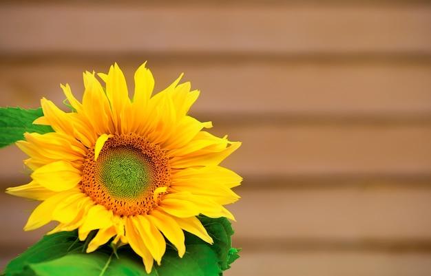 Żółty jasny duży kwiat słonecznika na drewnianej ścianie