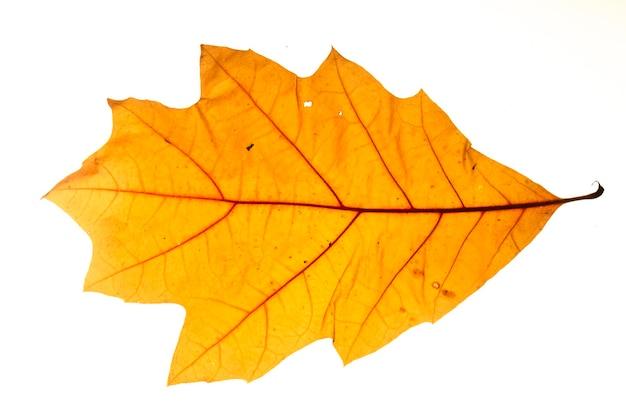 Żółty jesienny liść dębu na białym tle z bliska