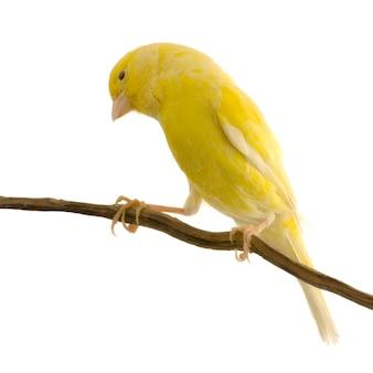 Żółty kanarek na jego żerdzi odizolowywającej