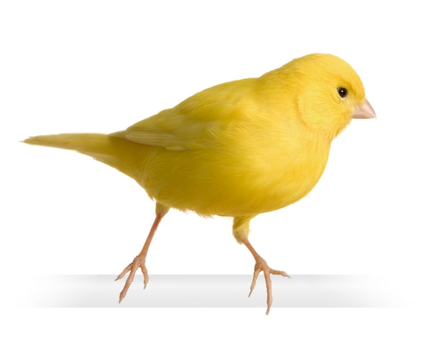Żółty kanarek - serinus canaria na żerdzi na białym tle