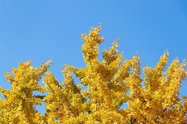 Żółty kolor liści drzewa ginkgo na jasnym błękitnym niebie