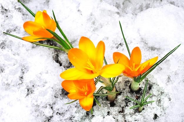 Żółty krokus kwitnie w śniegu