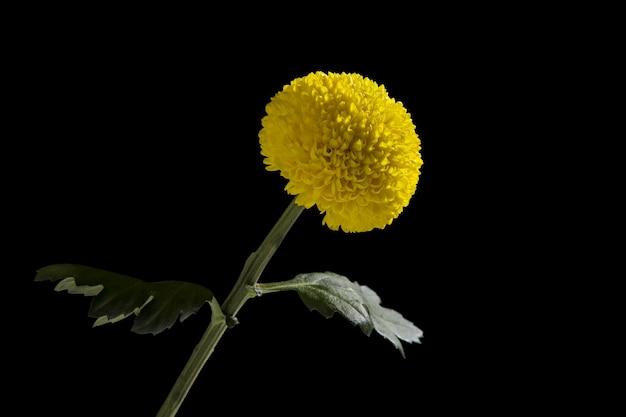 Żółty kwiat chryzantemy na białym tle