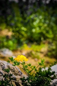 Żółty kwiat górski rośnie wśród kamieni. mały samotny żółty górski kwiat wśród kamieni.