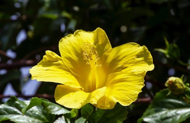 Żółty kwiat hibiscus rosa-sinensis, znany jako chiński hibiskus, chińska róża, hawajski hibiskus, różany ślaz i trzcina do butów