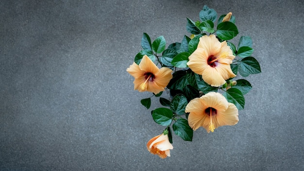Żółty kwiat hibiskusa w szarym tle.