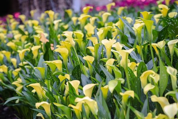 Żółty kwiat lilii calla złożony kwiat w parku w dzień wiosny