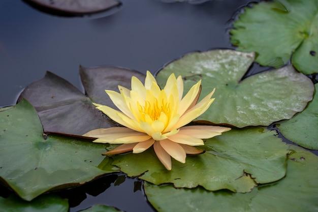 Żółty kwiat lotosu w stawie, wietnam. zbliżenie