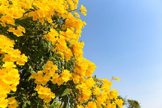 Żółty kwiat na drzewie w ogrodzie z błękitnym niebem, piękne kwiaty trumpetflower