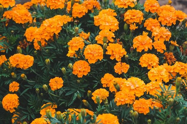 Żółty kwiat nagietka lub aksamitki zbliżenie. krzew żółtych kwiatów w ogrodzie