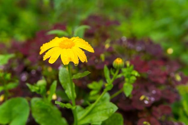 Żółty kwiat nagietka w kroplach podczas deszczu na rozmytym tle