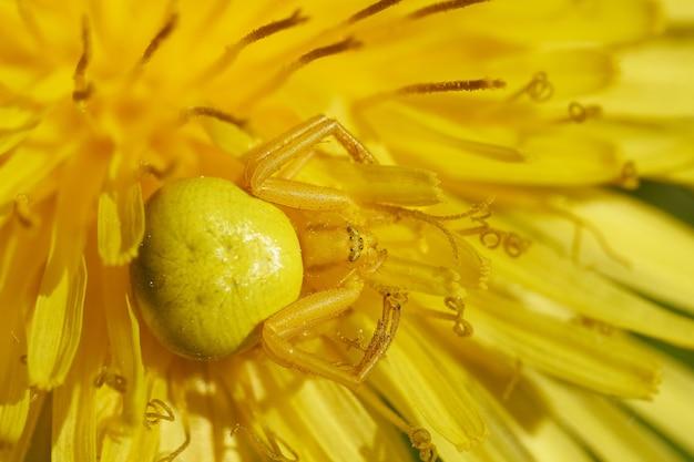 Żółty kwiat pająk polujący na muchy siedzące na kwitnącym mniszku lekarskim w letnim ogrodzie