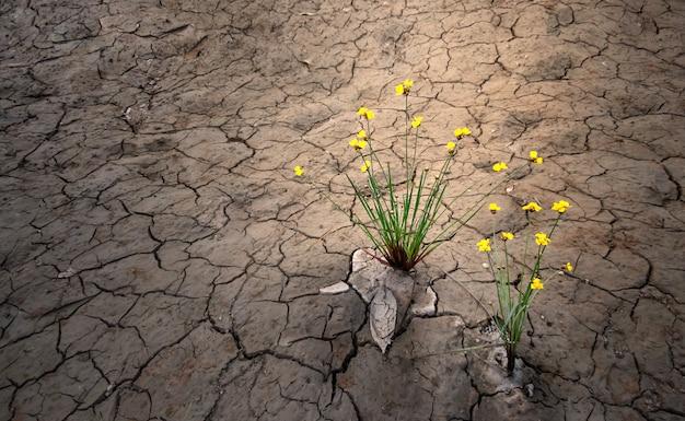 Żółty kwiat rośnie na suszonej krakowanej ziemi, selektywne focus