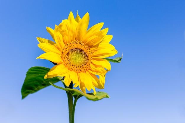 Żółty kwiat słonecznika na błękitnym niebie przy słonecznej pogodzie