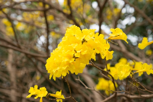Żółty kwiat tabebuia chrysantha nichols, tallow pui, złote drzewo w lecie
