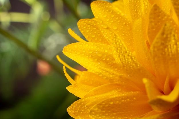 Żółty kwiat z kroplami woda, zakończenie.