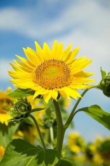 Żółty kwitnący słonecznik na polu z błękitnym niebem naturalne tło