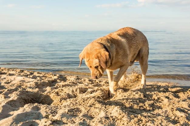 Żółty labrador retriever kopiący w piasku na plaży w słoneczny dzień
