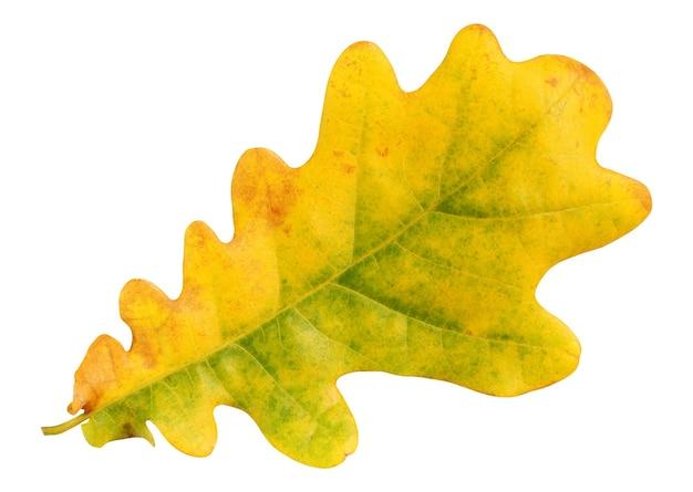 Żółty liść dębu na białym tle. jesienne liście.