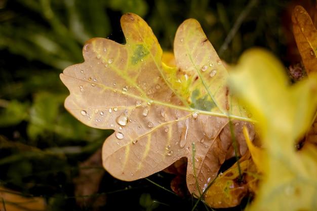 Żółty liść dębu z kroplami rosy na ziemi