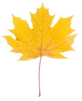 Żółty liść klonu na białym tle