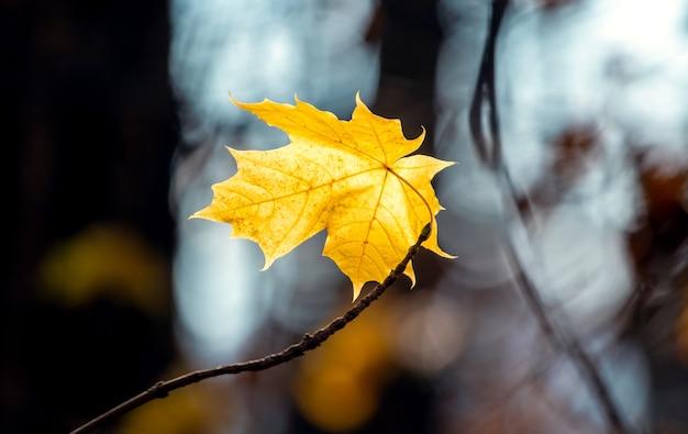 Żółty liść klonu na drzewie w ciemnym jesiennym lesie
