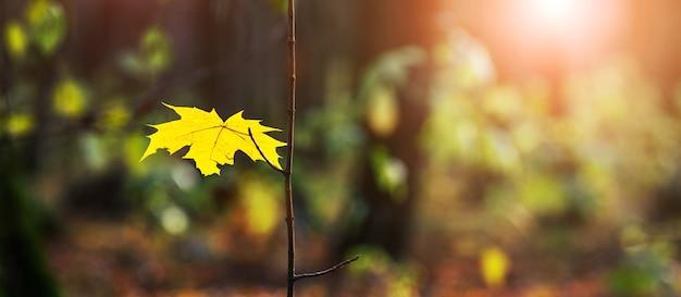 Żółty liść klonu na drzewie w ciemnym lesie podczas zachodu słońca