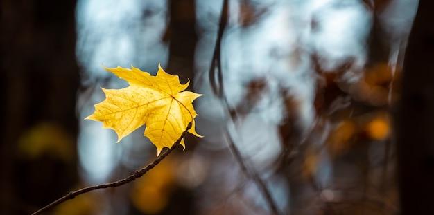 Żółty liść klonu na drzewie w ciemnym lesie