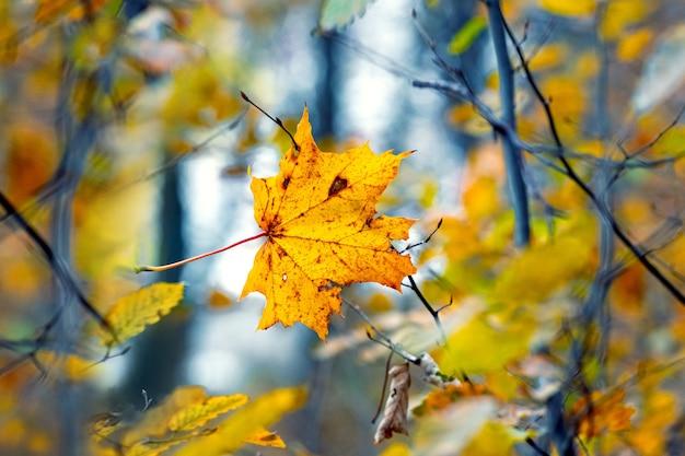 Żółty liść klonu na drzewie w jesiennym lesie