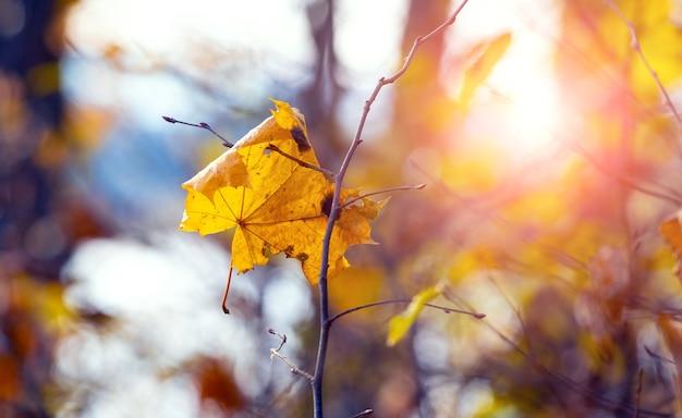 Żółty liść klonu na gałęzi drzewa w jasnym świetle słonecznym, jesienny las