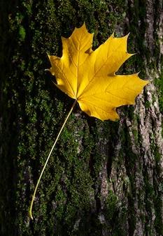 Żółty liść klonu na pniu drzewa, spadek.