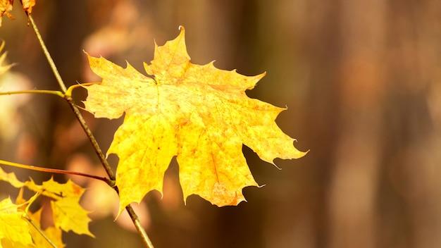 Żółty liść klonu w ciepłych jesiennych kolorach