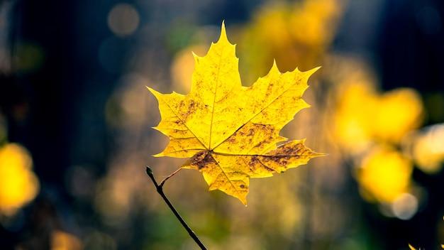Żółty liść klonu w lesie na ciemnym tle jesieni. jesienny las