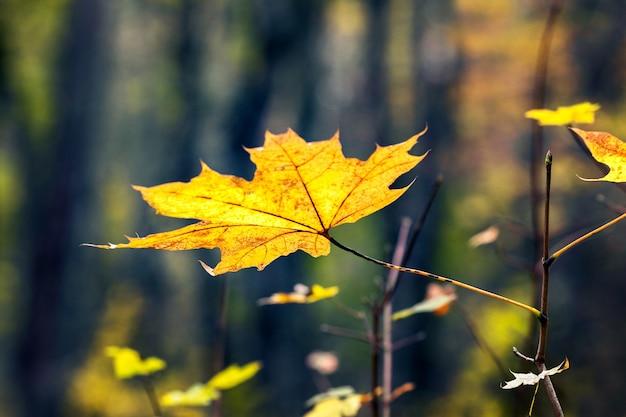 Żółty liść klonu w lesie na drzewie na ciemnym tle