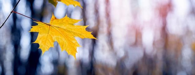 Żółty liść klonu w lesie na drzewie na niewyraźne tło podczas zachodu słońca. jesienny las, panorama