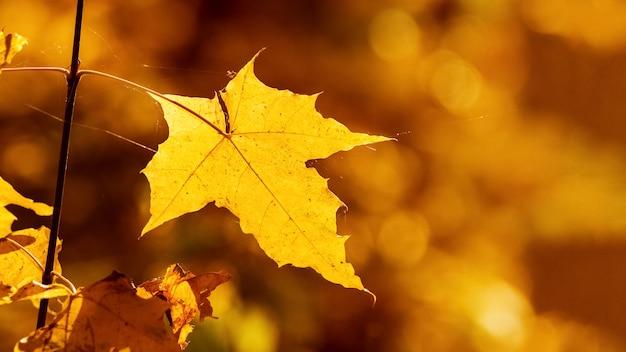 Żółty liść klonu w lesie na rozmytym tle w ciepłych kolorach jesieni