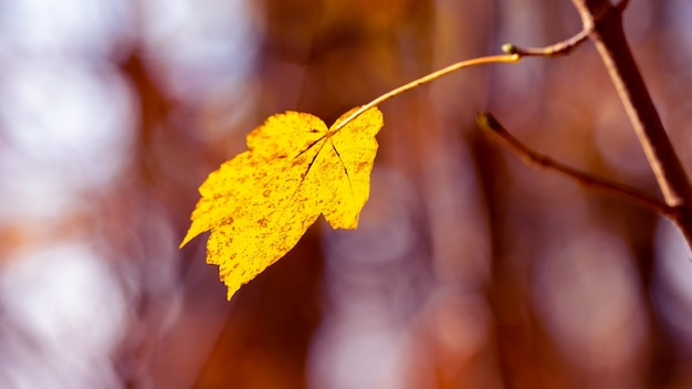 Żółty liść na gałęzi drzewa w lesie na rozmytym tle, ostatni jesienny liść