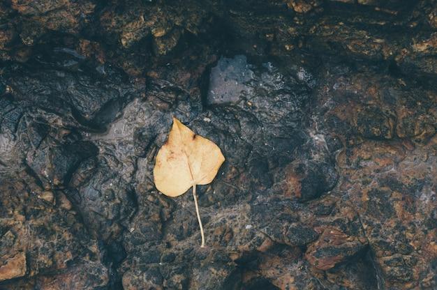 Żółty liść pho na ziemi.