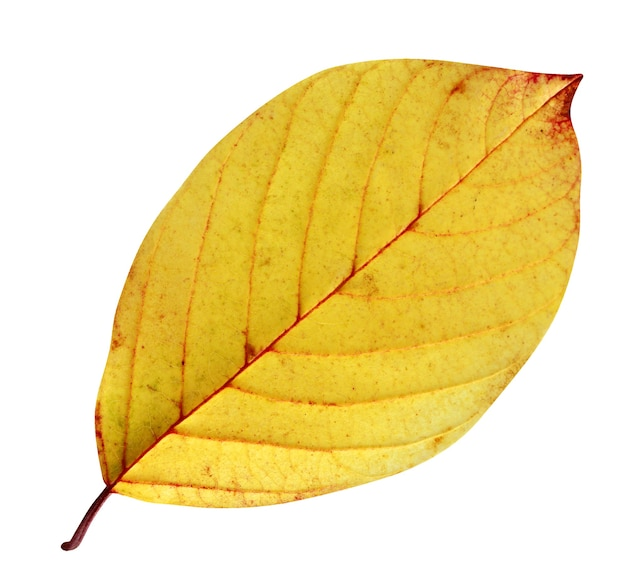 Żółty liść rokitnika na białym tle. jeden jesienny liść, opadające liście.