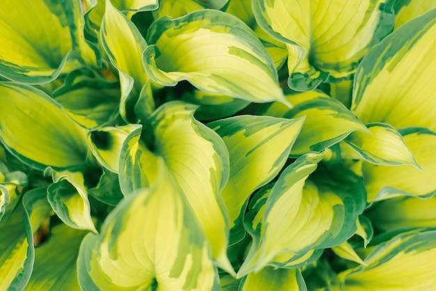 Żółty liść sałaty zielony gospodarzy z bliska
