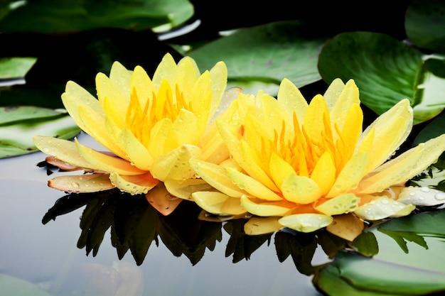 Żółty lotos kwitnący w stawie.