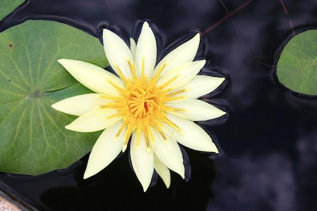 Żółty lotos w jeziorze