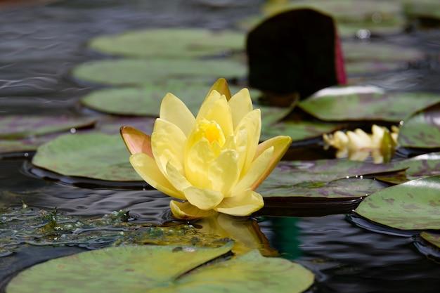 Żółty lotosowego kwiatu kwitnienie przy basenem