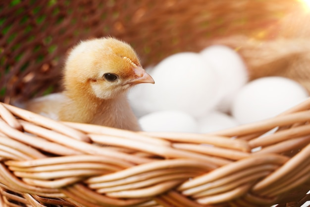 Żółty malutki puszysty kurczak w wielkanocnym koszyku z jajkami