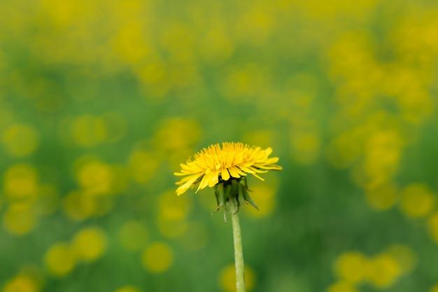 Żółty mniszek lekarski na polu. żółty kwiatek