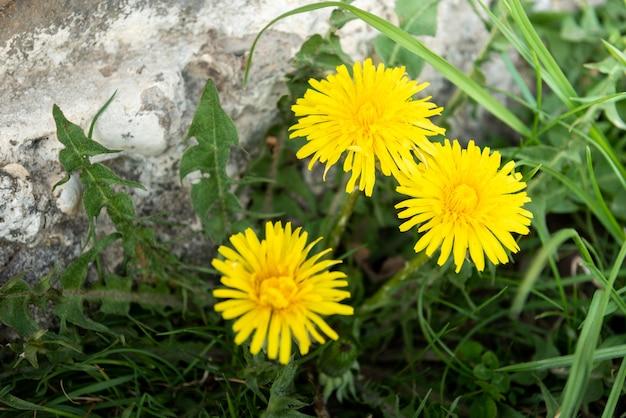 Żółty mniszek lekarski rośnie w ogrodzie wiosną