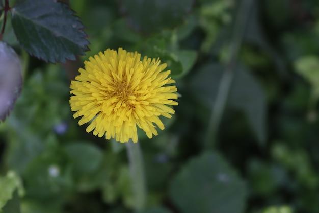 Żółty mniszek lekarski wśród zielonych liści i roślin w słoneczny letni dzień