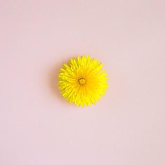 Żółty mniszek na różowym tle. minimalna kompozycja kwiatowa wiosna natura. twórczy układ abstrakcyjny. leżał z płaskim, widok z góry, zdjęcie zbliżenie.